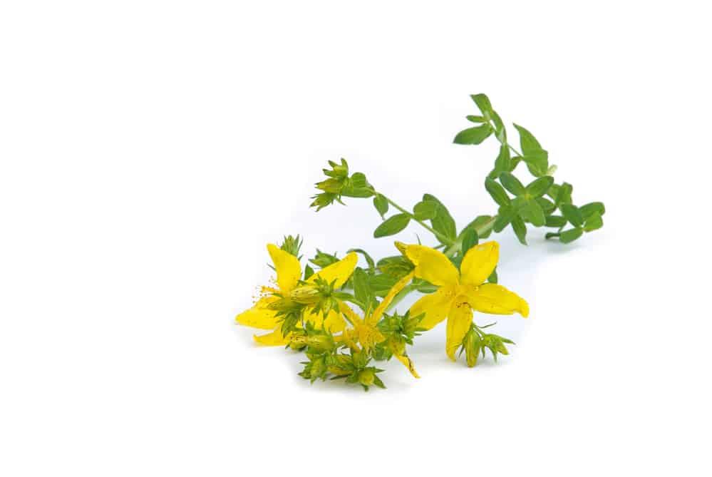 Johanniskraut Pflanze