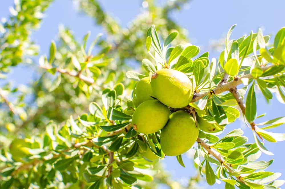 Argan Baum mit Früchten